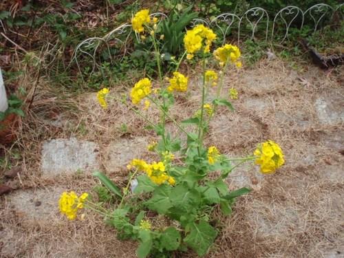 庭の花 066.JPG